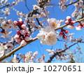 桜 10270651