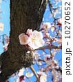 桜 10270652