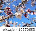 桜 10270653