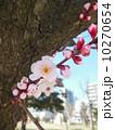 桜 10270654