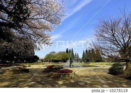 世田谷公園の桜 10278119