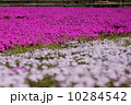 芝桜 草花 花の写真 10284542