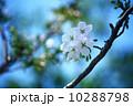 オオシマザクラ サクラ 花の写真 10288798