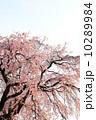 紅枝垂れ 紅枝垂れ桜 桜の写真 10289984