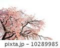 紅枝垂れ桜 紅枝垂れ 桜の写真 10289985