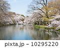 井の頭恩賜公園 満開 春の写真 10295220