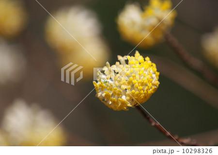 ミツマタの花 10298326