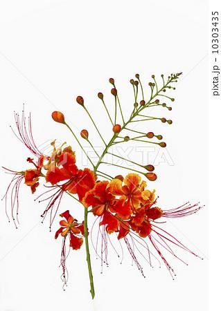Pride of barbados flowerの写真素材 [10303435] - PIXTA