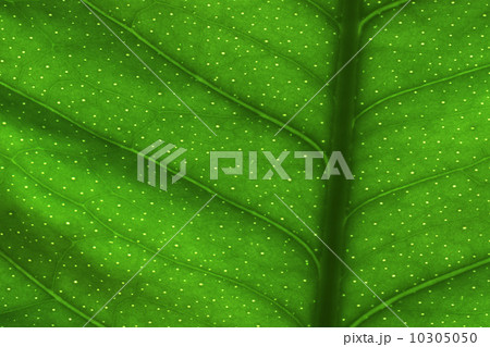 green leaf textureの写真素材 [10305050] - PIXTA