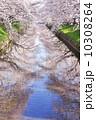 桜並木 五条川 満開の写真 10308264