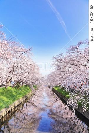 五条川の桜並木 10308268