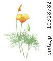 ハナビシソウ 水彩画 花のイラスト 10318782