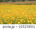 キバナコスモスの花畑 10323601