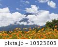 富士山とキバナコスモスの花畑 10323603