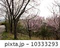4月 ソメイヨシノ 桜の写真 10333293