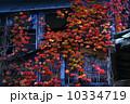晩秋 秋 蔦の写真 10334719