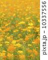 キバナコスモスの花畑 10337556