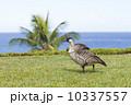 カウアイ島プリンスヴィルのネネ 10337557