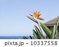 カウアイ島の極楽鳥花 10337558
