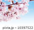 ソメイヨシノ 10397522