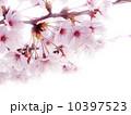 ソメイヨシノ 10397523