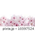 ソメイヨシノ 10397524