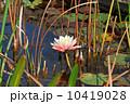 水分 花 百合の写真 10419028