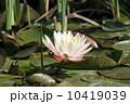 水分 花 百合の写真 10419039
