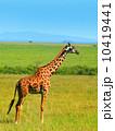Wild African Giraffe 10419441
