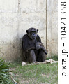 チンパンジー 類人猿 さるの写真 10421358