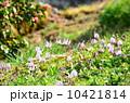 山里のカタクリ♪ 10421814