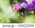 種 スピーシーズ サマータイム 10422836