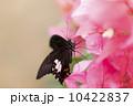 種 スピーシーズ サマータイム 10422837