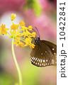 種 スピーシーズ サマータイム 10422841