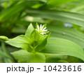 春の七草の一つハコベの花 10423616