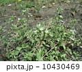 春の七草の一つハコベ似た葉っぱのオランダミミナグサの花 10430469