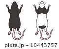 ハツカネズミ-腹面(黒・パンダ) 10443757