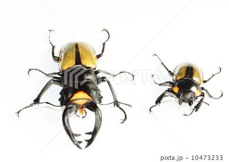 ラコダールツヤクワガタのオスとメス 白バックの写真素材 [10473233] - PIXTA