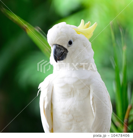Sulphur-crested Cockatooの写真素材 [10478406] - PIXTA