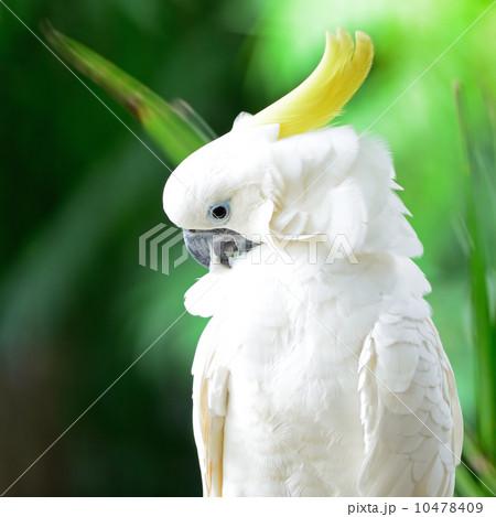 Sulphur-crested Cockatooの写真素材 [10478409] - PIXTA