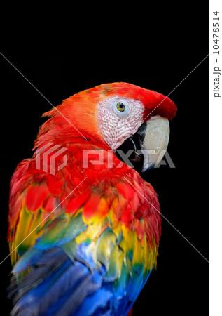 Scarlet Macaw 10478514
