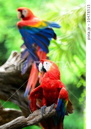 Scarlet Macaw 10478515