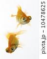 出目金 観賞魚 和金の写真 10478625