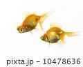 出目金 観賞魚 和金の写真 10478636