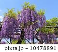 藤 藤棚 藤の花の写真 10478891