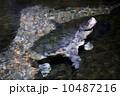 カミツキガメ 10487216