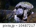 カミツキガメ 10487217