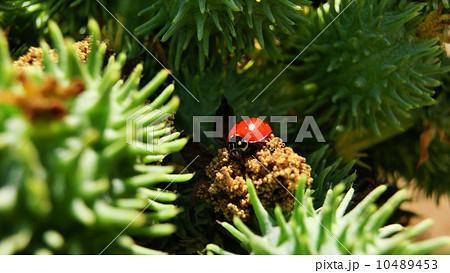 テントウムシ 01 赤 カリフォルニア 10489453