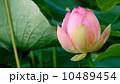 蓮の花 01 花弁の水滴 10489454