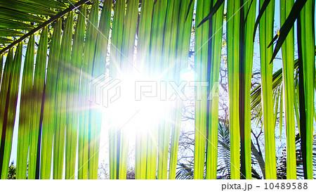 ヤシの木 01 ヤシの葉と陽射し 10489588